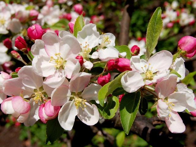 yablonevyj-cvet