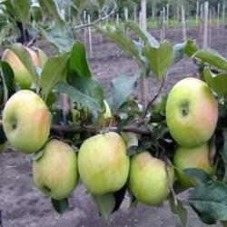Описание сорта карликовых яблонь подснежник характеристики урожайности и регионы выращивания