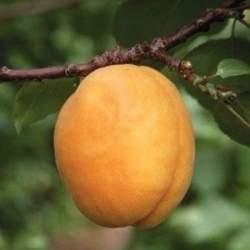 Описание сорта абрикосов Сибиряк Байкалова характеристики плодоношения и особенности выращивания