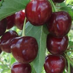Дюк Ночка (гибрид вишни и черешни)