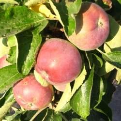 Выращивание колоновидной яблони Созвездие