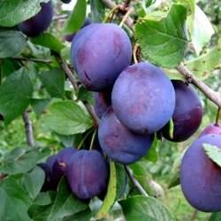 Сливово-вишневый гибрид Омская ночка (СВГ)